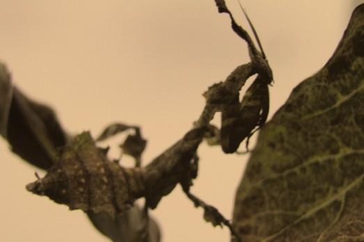 Mantiscloseupheller